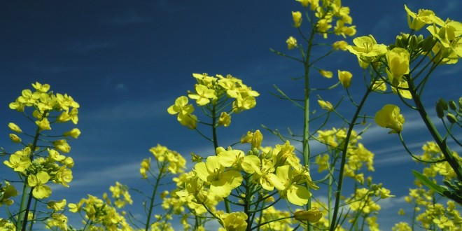 Canola is first genetically altered crop to go wild
