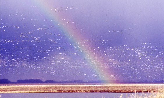 Snow geese at Sand Lake Wildlife Refuge. Photo by Anne Williams