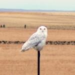 Snowy Owl 2-22-12. Photo by Bill Bossman