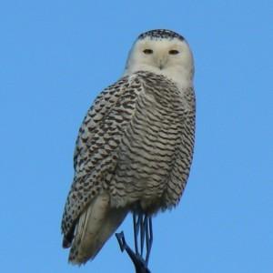 Snowy owl, immature female. Photo by Bill Bossman.