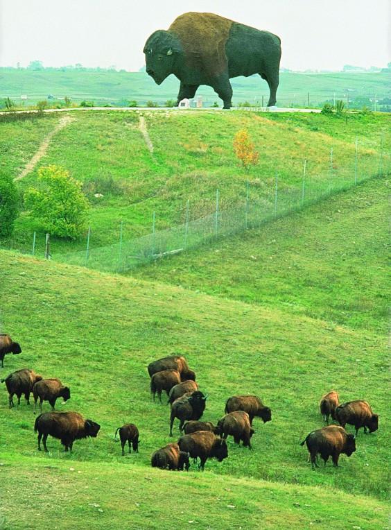Buffalo herd at the Buffalo Museum in Jamestown. Photo by Dawn Charging/NDTourism.com
