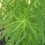 Kochia is one of the worst plants for developing herbicide resistance. Photo from Wikipedia.org