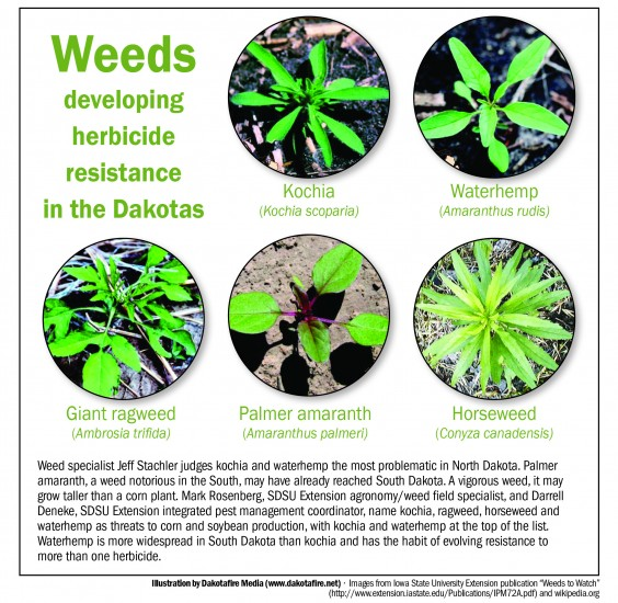 "Weeds developing herbicide resistance in the Dakotas. Graphic by Dakotafire.net.  Images from Iowa State University Extension publication ""Weeds to Watch""  (http://www.extension.iastate.edu/Publications/IPM72A.pdf) and wikipedia.org"