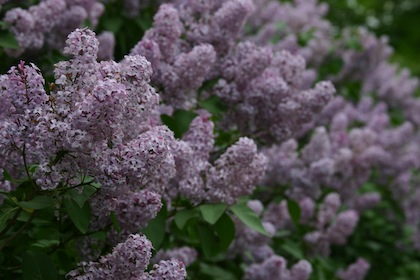 Lilacs are looking good this spring