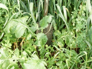 Cover crops such as these are an important part of Gabe Brown's farming operation. Brown's conservation practices actually build new soil—an inch every few years.