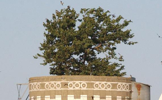 World's largest potted plant? Tree grows out of silo near Waubay, S.D.