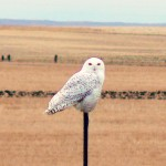 Snowy Owl 2-22-12. Photo by Bill Bossman