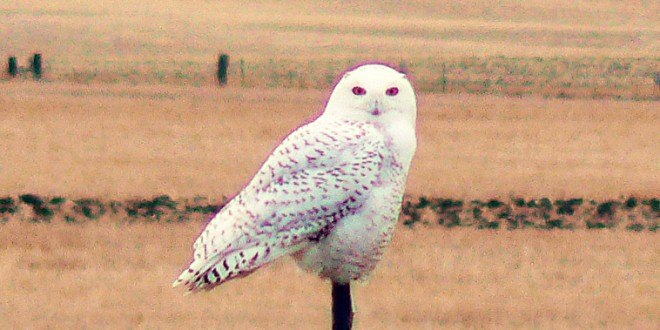 Postcard: Some snowy owls back for another visit