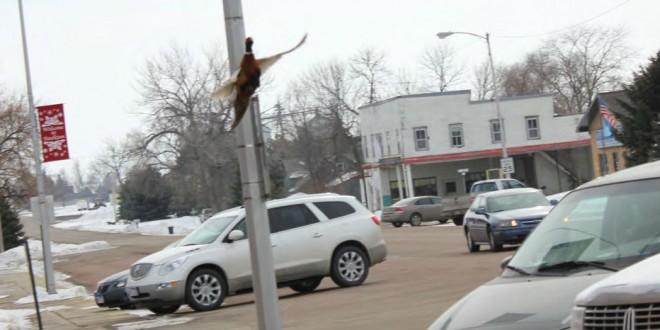 Pheasant on Faulkton Main Street