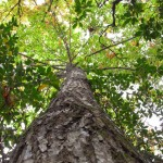 """Photo via The Rural Blog: """" (Photo by Breed: 50-foot tall American chestnut in Grassy Creek, N.C. shows no signs of blight)"""""""