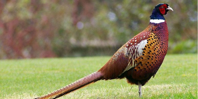 Pheasant numbers and revenue fall in Day County