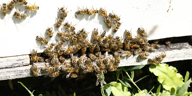 Dakota bees that pollinate crops nationwide are struggling