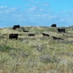 Cows at Rock Hills Ranch. Photo courtesy Rock Hills Ranch
